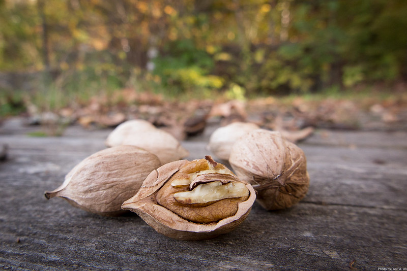 Learn how to crack hickory nuts