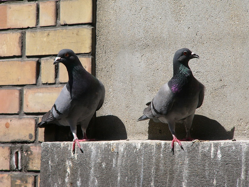 Pigeons sitting on fences and pooping all the time