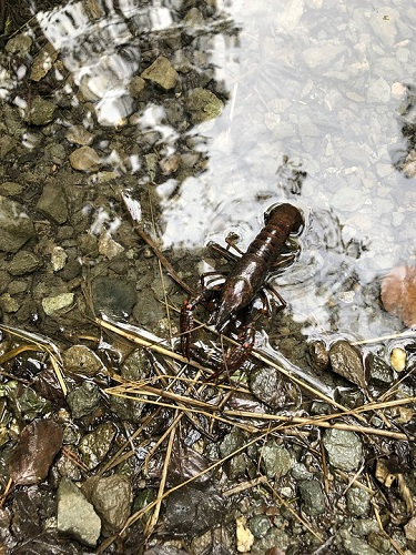 How to Raise Crawfish in a Pond