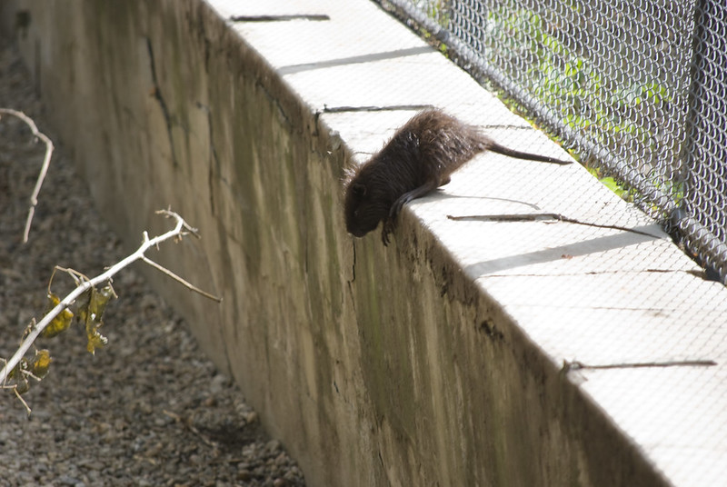 Rats can jump up to 6 feet high