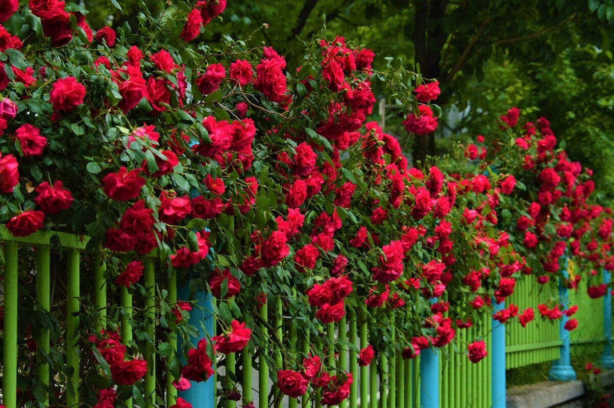 fence covering backyard roses
