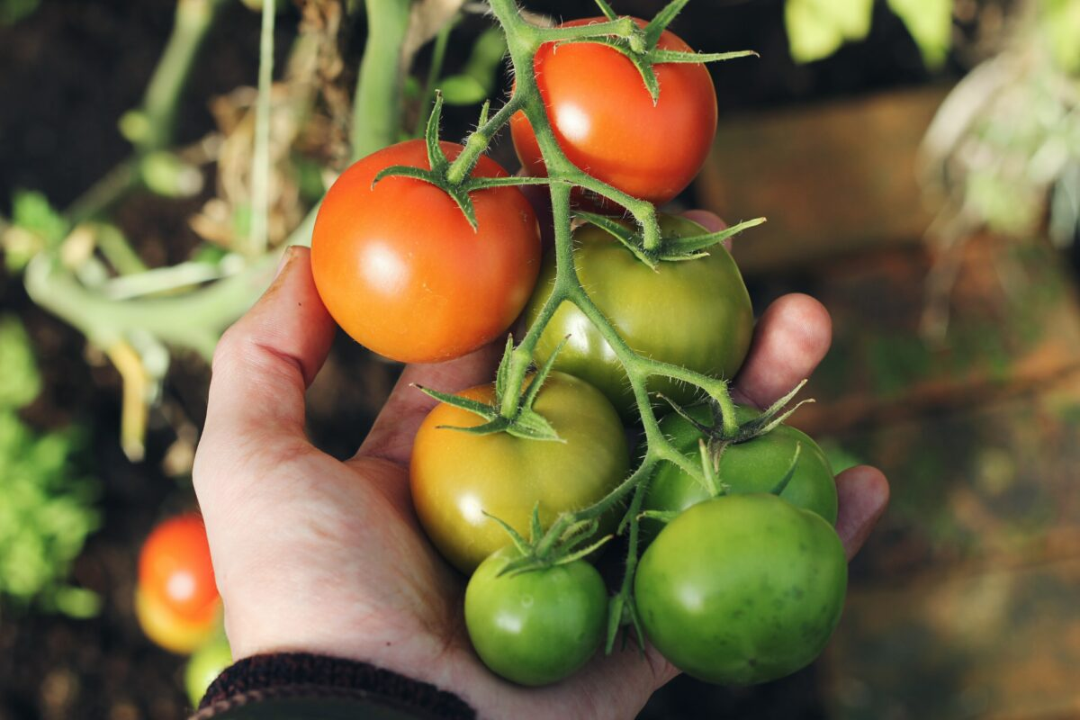 How to grow tomatoes for an emergency garden