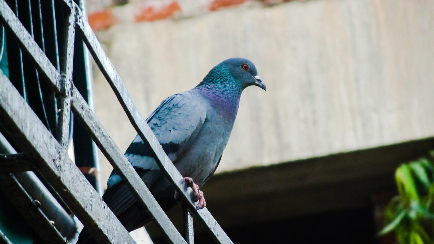 Tips on stopping pigeons sitting on your fence