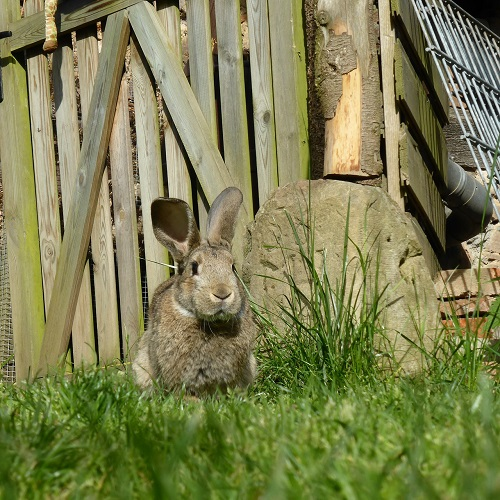 rabbit and fence