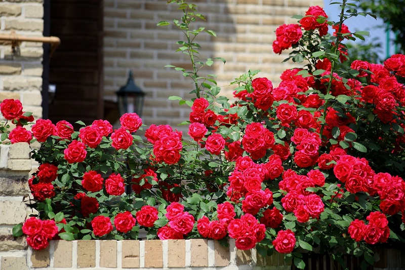 roses fence covering design